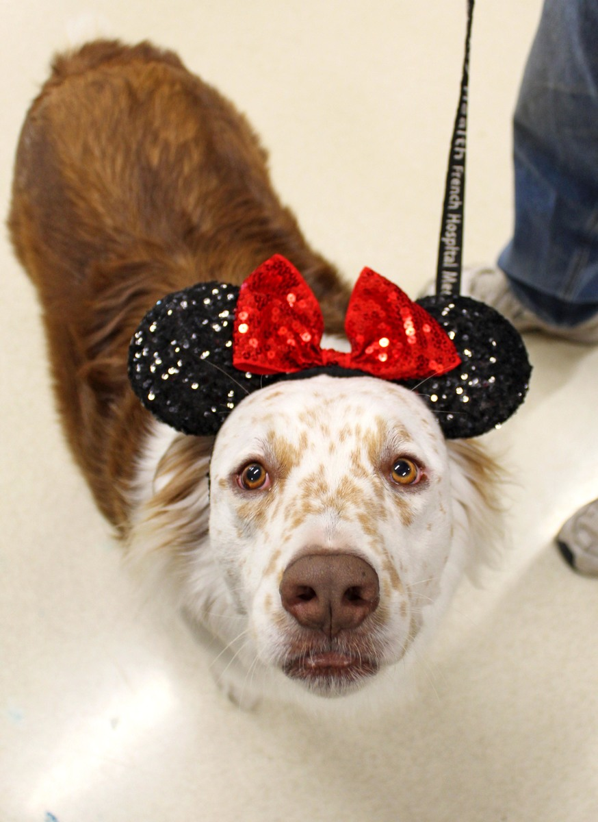 Therapy dog at French Hospital ICU with Disney ears on
